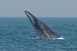 Brydes_whale@body
