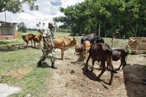 An Indian Border Security Force (BSF) soldier guards captured cattle from the unfenced India-Bangladesh border in West Bengal, India, June 20, 2015.  REUTERS/Rupak De Chowdhuri