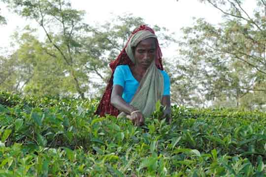 Bangladeshi tea workers are mostly indigenous people from India who migrated during British rule. They are among the most deprived and marginalized communities in the country. (File photo from UCAN Bang...             </div><!-- .entry-content -->  </article><!-- #post-## -->  <div class=